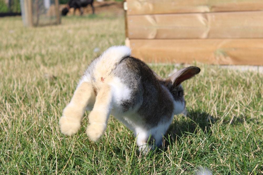 Rammelt kaninchen Kaninchen
